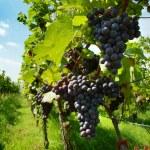 Vineyard. The Rhine valley, Germany — Stock Photo #1668966