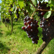 Vineyard. The Rhine valley, Germany — Stock Photo