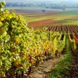 Vineyard, The Rhine valley, Germany — Stock Photo #1669159