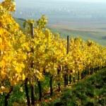 Vineyard, The Rhine valley, Germany — Stock Photo #1669687