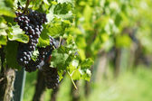 Vineyard. The Rhine valley, Germany — Stock Photo