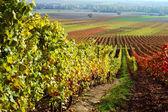 Vineyard, The Rhine valley, Germany — Stock Photo