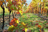 Vineyard, The Rhine Valley, Germany — Stock Photo