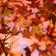 Japanese maple background - Stock Photo