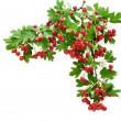 Hawthorn — Stock Photo