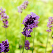 Stock Photo: Lavender,