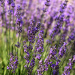 Lavender, Provence, France — Stock Photo #1704407