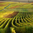 Stock Photo: Vineyard. Rhine Valley, Germany