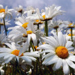 Daisies — Stock Photo #1704508