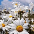 Daisies — Stock Photo #1704517