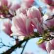 Stock Photo: Magnolia