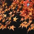 Japanese maple background — Stock Photo