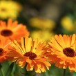 Marigold flowers — Stock Photo #1704826