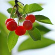 Stock Photo: Sunny cherry