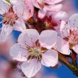 Blossoming cherry tree — Stock Photo #1705118