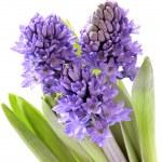 Blue hyacinth — Stock Photo #1705138