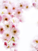 Soft pink blossom — Stock Photo