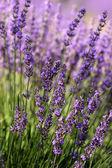 Lavender, Provence, France — Stock Photo