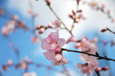 Blossoming cherry tree — Stockfoto