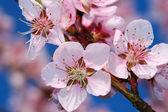 Kiraz çiçek ağaç — Stok fotoğraf