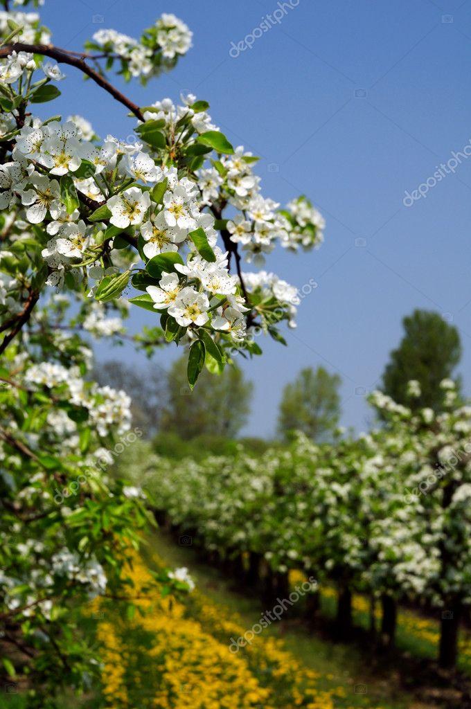 开花苹果树 — 图库照片08miltonia#1703748