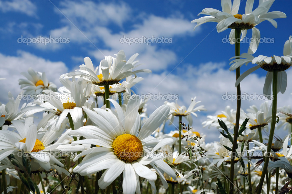 Daisies — Stock Photo #1704498