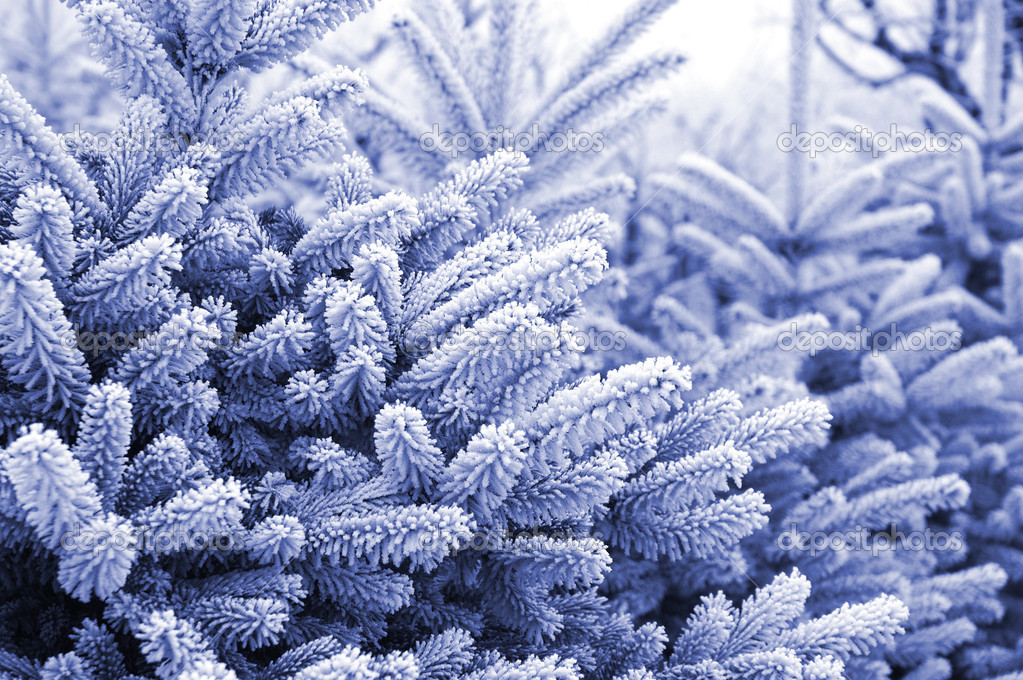 Pine trees with snow (in blue toned)  Stock Photo #1704530
