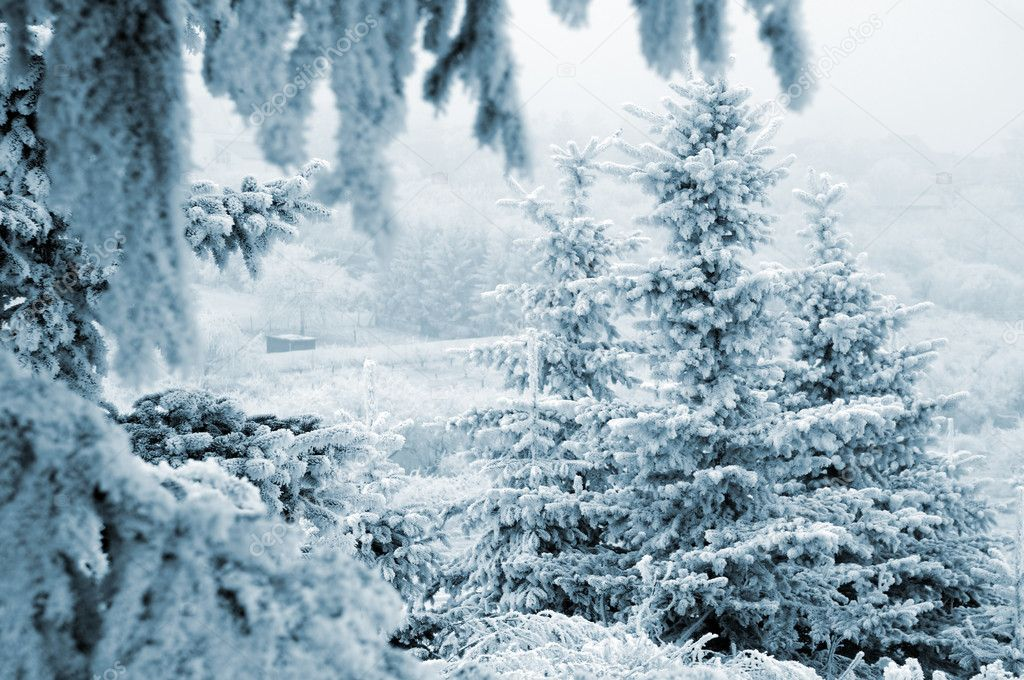 Pine trees with snow (in blue toned) — Stock Photo #1704896