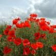 Stock Photo: Red poppies and blue sky