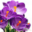 Crocus — Stock Photo #2164905