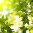 Green maple leaves with sun ray — ストック写真