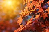 Fundo red maple — Foto Stock
