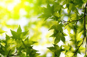 Green maple leaves with sun ray — Stock Photo