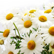 Daisies — Stock Photo #2260969