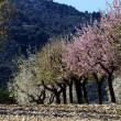 Blossoming almond-tree, Majorca, Spain — Stock Photo