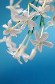 White jasmine — Stock Photo