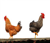 Hen and rooster isolated on white — Stock Photo