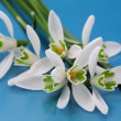 Snowdrops — Stock Photo #2618325
