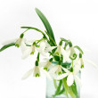 Snowdrops — Stock Photo #2618529
