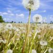 Dandelion field over blue sky — Stock Photo