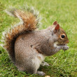Royalty-Free Stock Photo: Squirrel