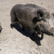 Wild boars family — Stock Photo #1689929