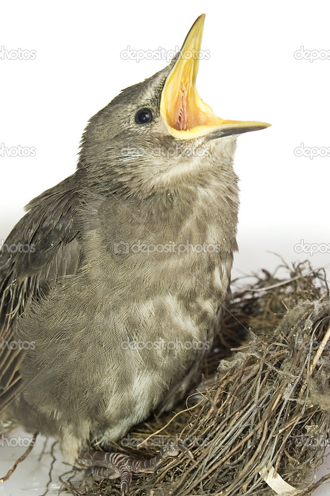 This little starling fell out the nest. — Stock Photo #1689431