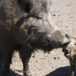 Wild boars family — Stock Photo #1690061