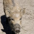 Little wild boar - Stock Photo