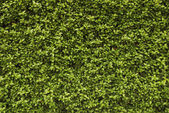 Seamless background - hedge — Stock Photo
