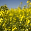 Canola field - Stock Photo
