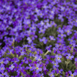 Many violet flowers — Stock Photo