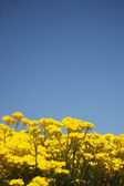 Yellow flowers over blue sky — Stock Photo