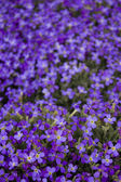 Many violet flowers — Stock Photo
